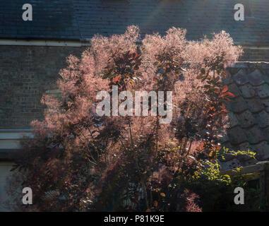 Smoke bush in all its glory - Stock Image