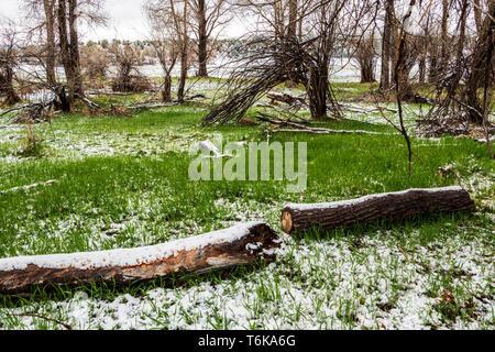Fresh springtime snow on green meadow grasses; central Colorado; USA - Stock Image