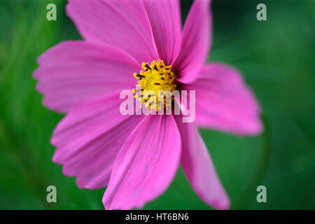 stunning pink cosmos sonata, soft focus and ethereal Jane Ann Butler Photography  JABP1856 - Stock Image