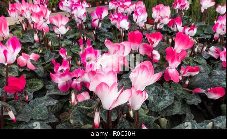 Cyclamen Indiaka plants at garden center - Stock Image
