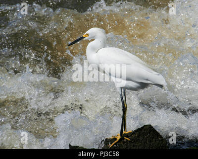 A snowy egret backed by crashing waves. - Stock Image