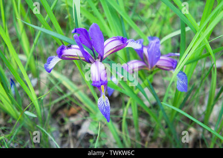 Iris graminea, grass-leaved flag, grass leaved iris, plum iris, plum tart iris in the National Nature Reserve Certoryje in the White Carpathians, Zlin - Stock Image
