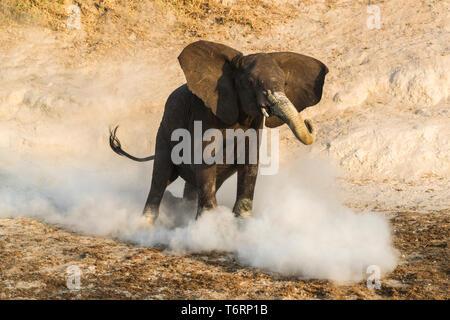 African elephant (Loxodonta africana) mock-charging, Chobe national park, Botswana, August 2018 - Stock Image