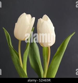 Two White Tulips on a grey background. - Stock Image