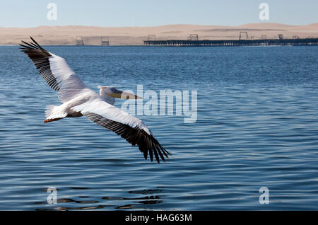 A Great White Pelican - Pelecanus onocrotalus - in flight in Welvis Bay on the coast of Namibia - Stock Image
