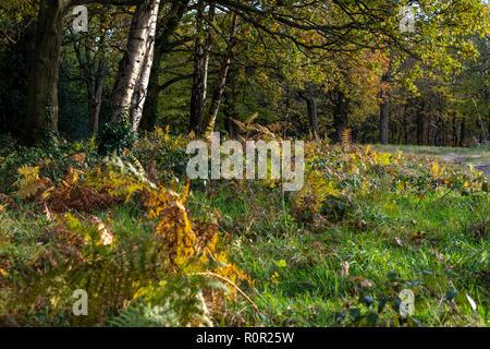 Autumn colour on Tunbridge Wells Common. Brambles, bracken, ivy and deciduous trees - Stock Image