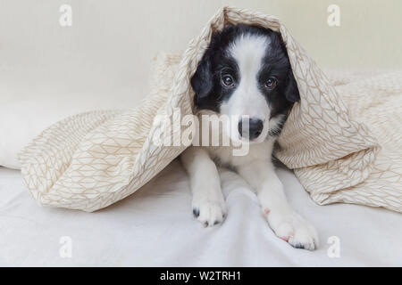 Funny portrait of cute smilling puppy dog border collie lay on pillow blanket in bed. New lovely member of family little dog at home lying and sleepin - Stock Image