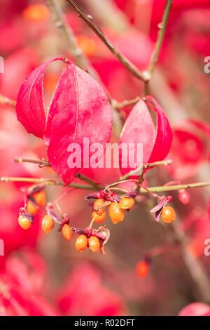 Closeup of the berries of a Burning bush, Euonymus alatus. Kansas, USA. - Stock Image