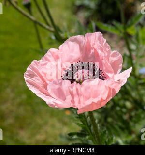 A perennial pink poppy flower - Stock Image