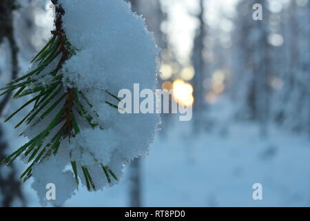 A pine twig is covered with snow in a wintry forest - close up. - Stock Image