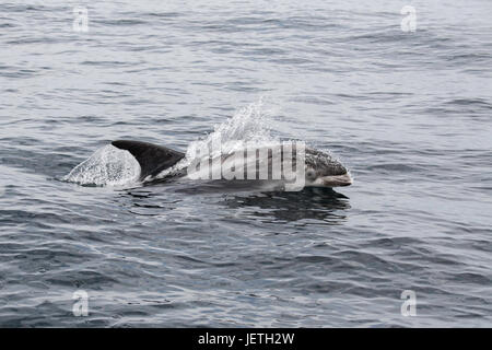 White-beaked dolphin, Lagenorhynchus albirostris, surfacing, near the Farne Islands, near Newcastle, North Sea, - Stock Image