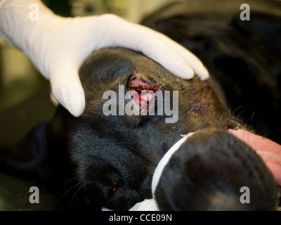 Occular Foreign Body in a Black Labrador Dog - Stock Image