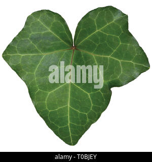 Hedera helix L. var. baltica leaf, climbing common Baltic ivy texture, large detailed isolated macro closeup, fresh new young evergreen creeper leaves - Stock Image