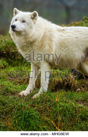 The UK Wolf Conservation Trust wolves roam their enclosures in Beenham, Berkshire during a bright overcast day 0n 12 January 2017 - Stock Image