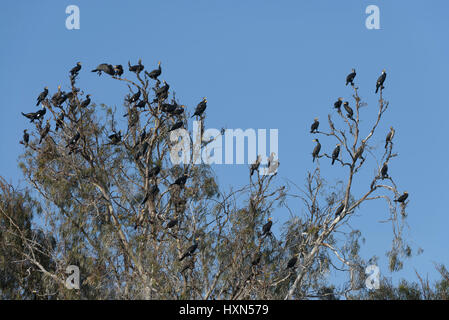Flock of great cormorants (Phalacrocorax carbo) gathering in eucalyptus tree at roost site at dusk, on Israel's - Stock Image