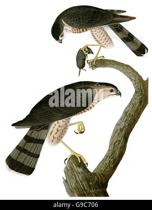 Sharp-shinned Hawk, Accipiter striatus, birds, 1827 - 1838 - Stock Image