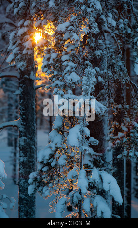 Last rays of sun at young pine ( pinus sylvestris ) forest at Winter , Finland - Stock Image