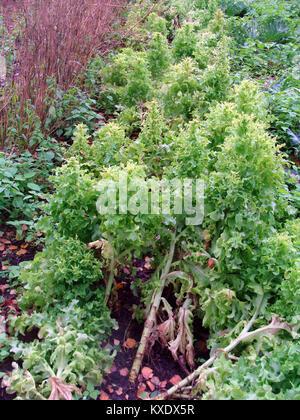 Furrow with overgrown lettuce in garden on autumn - Stock Image