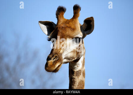 Close-up of a South African Giraffe (Giraffa camelopardalis giraffa). Modlito Game Reserve, Kruger Park, South Africa - Stock Image