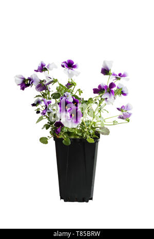 Purple and white potted Pansy, also know as Viola tricolor variety hortensis, isolated over a white background. Clipping path included. Spring and Aut - Stock Image