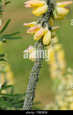 Lupin aphid, Macrosiphum albifrons, severe infestation of large greenfly on tree lupin, Lupinus arboreus, in flower, Berkshire, May - Stock Image