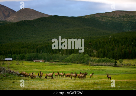 Herd of Elk Wapiti with Longs Peak in the background outside Estes Park Colorado Rocky Mountains - Stock Image