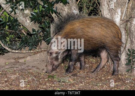 Bush pig (Potamochoerus larvatus), Mpila camp, iMfolozi game reserve, KwaZulu-Natal, South Africa, September 2018 - Stock Image