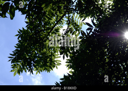 leaves tree blue sky generic summer - Stock Image