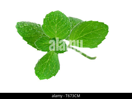 Mint leaves isolated on white background - Stock Image