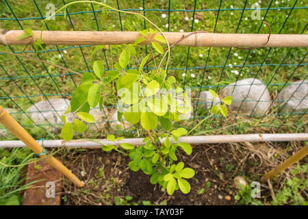 A young Akibia Quinata shrub, or the Cream Form variety, growing the north east Italy. It is also known as chocolate vine, five-leaf chocolate vine an - Stock Image