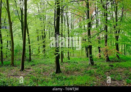 spring woodland, stody, north norfolk, england - Stock Image