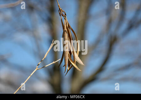 close up image of large seeds hanging from tree - Stock Image