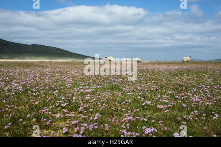 Sheep grazing on the flat Machair at Northton on the Isle of Harris, Outer Hebrides, Scotland - Stock Image