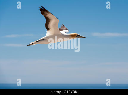 Australasian Gannet  (Morus serrator) in flight at Cape Kidnappers colony New Zealand - Stock Image