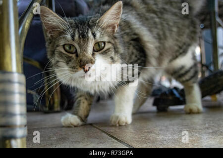 Tabby cat searching for food underneath hotel restaurant table - Stock Image