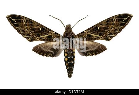 Hawk-moth, Euryglottis aper, Sphingidae. Colombia, Ecuador, Venezuela and Bolivia. Mounted Specimen. Photo/Cutout. - Stock Image