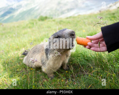 Little hungry marmot - Stock Image