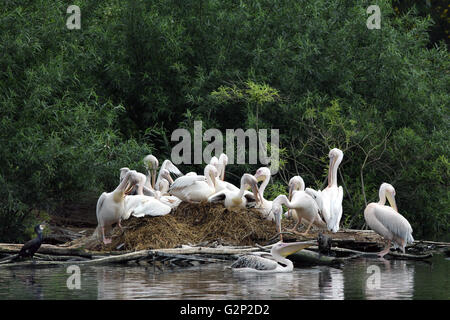 Breeding Colony of Great white pelican Pelecanus onocrotalus also known as the eastern white pelican rosy pelican - Stock Image