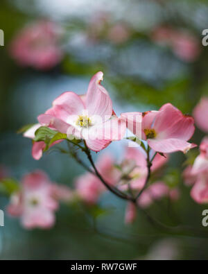 Pink Dogwood Tree Blossoms, Shallow Depth of Field - Stock Image