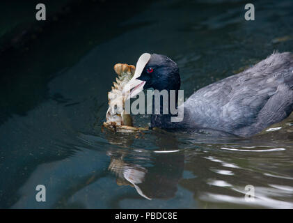 Eurasian Coot, also known as a Common Coot, (Fulica atra), holding a signal crayfish (Pacifastacus leniusculus), Regents Park, London, United Kingdom - Stock Image