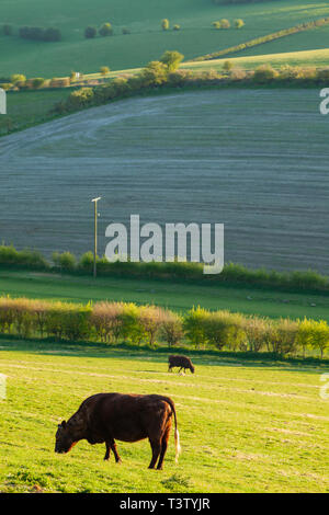 Cows grazing on the South Downs in West Sussex, England. - Stock Image