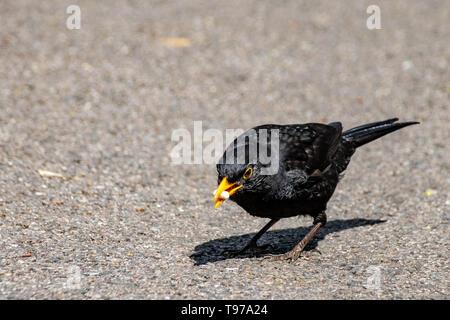 Male blackbird ( turdus merula) eating suet food pellets - Stock Image