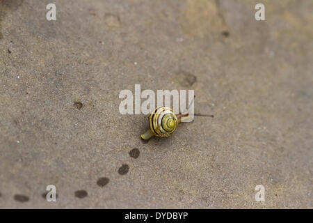 A snail leaves footprints as it crawls over a paving stone. - Stock Image