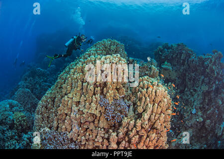 Female scuba diver, videophotographer records marine life associated large porite dome coral in a mountainous reef area of the Red Sea. Fury Shoals, 2 - Stock Image
