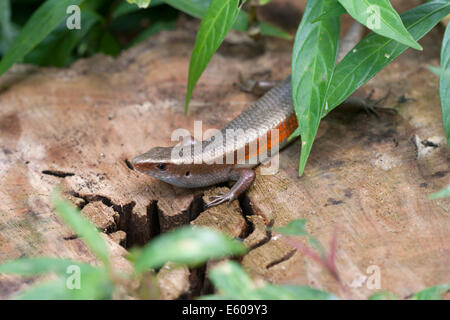 Skinks - Stock Image