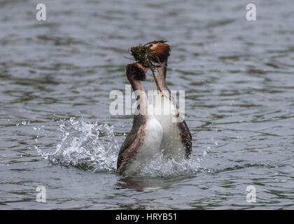 Great Crested Grebes (podiceps cristatus) performing 'weed dance' courtship display in Spring - Stock Image