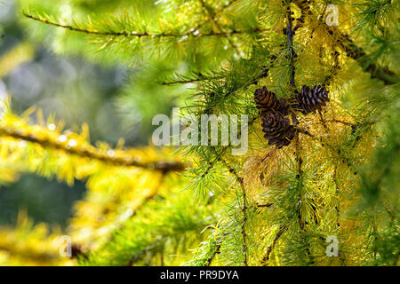 Close-up of a Larix sibirica, the Siberian larch or Russian larch tree - Stock Image