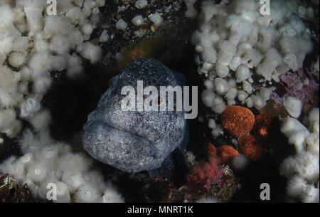 Wolf-eel, Anarrhichthys ocellatus - Stock Image