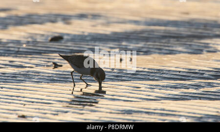 Silhouette of a Red-capped Plover (Charadrius ruficapillus) wading on the beach at dawn, Cape York Peninsula, Far North Queensland, FNQ, - Stock Image