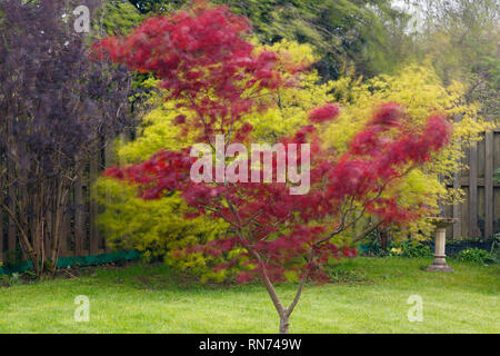 Red Japanese Maple tree Acer palmatum 'Atropurpureum' blowing in the wind in a domestic back garden on a very windy April day in Wales, UK, Britain - Stock Image